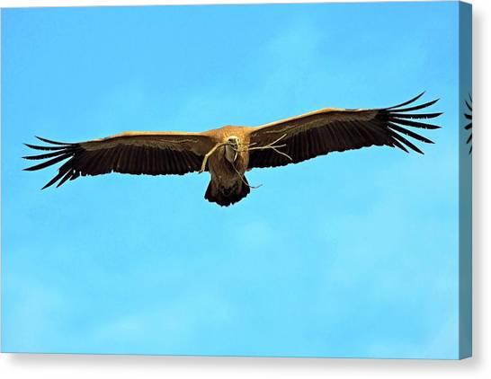 Griffon Canvas Print - Griffon Vulture In Flight by Bildagentur-online/mcphoto-schaef
