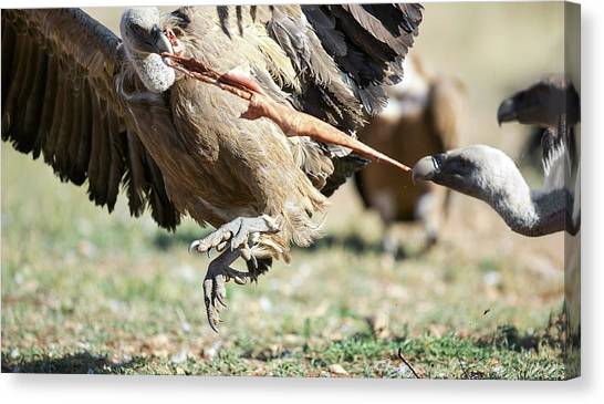 Griffons Canvas Print - Griffon Vultures Feeding by Nicolas Reusens