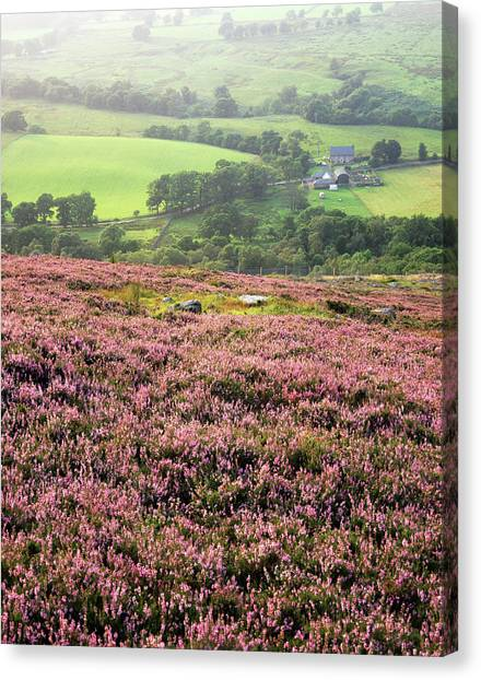 Scotch Canvas Print - Heather In Flower by Simon Fraser/science Photo Library