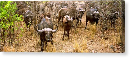 South Buffalo Canvas Print - Herd Of Cape Buffaloes Syncerus Caffer by Panoramic Images