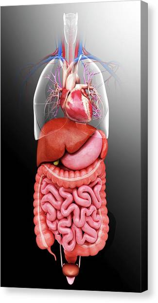Sigmoid Colon Canvas Print - Human Internal Organs by Pixologicstudio