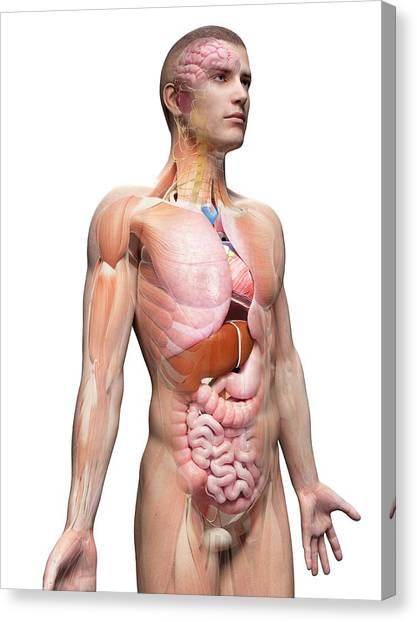 Cut-away Canvas Print - Human Internal Organs by Sebastian Kaulitzki