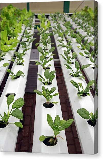 Spinach Canvas Print - Hydroponic Spinach At A Hospital Farm by Jim West