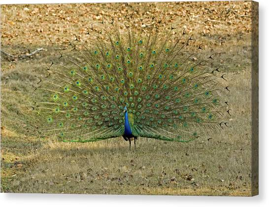 Indian Peacock Canvas Print by Tony Camacho/science Photo Library