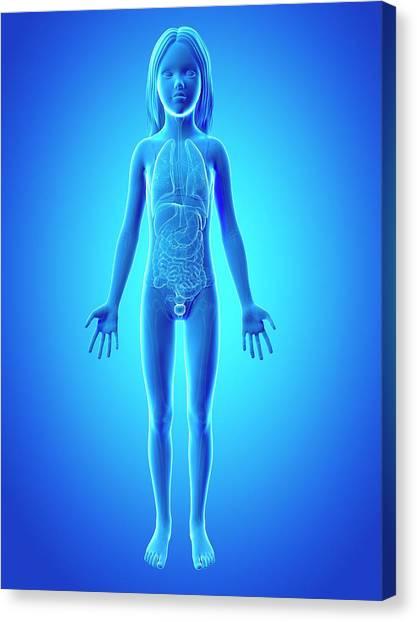 Internal Organs Canvas Print - Internal Organs Of Girl by Sebastian Kaulitzki