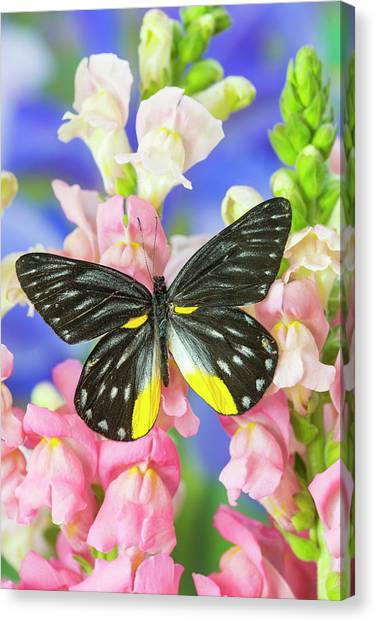 Snapdragons Canvas Print - Jezebels Butterfly, Delias Species by Darrell Gulin