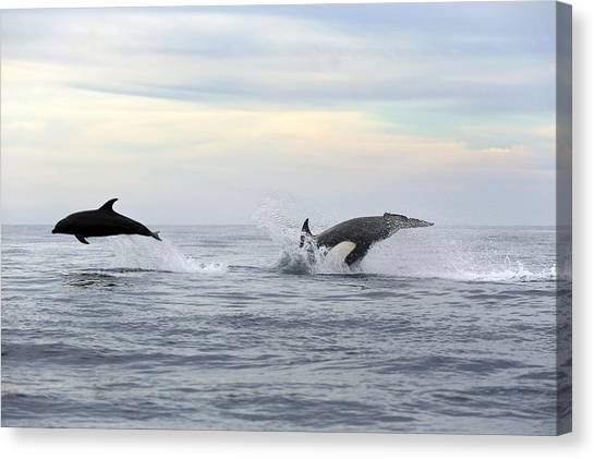 Bottlenose Dolphins Canvas Print - Killer Whale Hunting by Christopher Swann