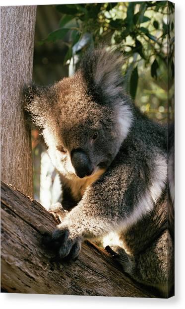 Koala Canvas Print - Koala by Pasquale Sorrentino/science Photo Library