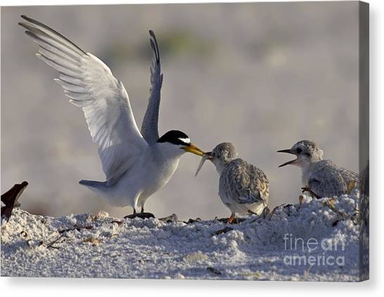 Least Tern Feeding It's Young Canvas Print