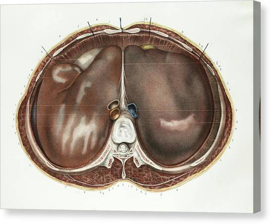 Abdomen Canvas Print - Liver by Science Photo Library