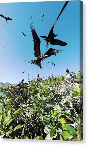 Magnificent Frigatebirds Canvas Print by Christopher Swann