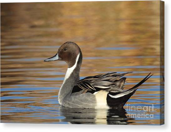 Male Pintail Canvas Print