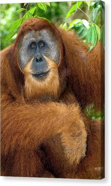 Orangutans Canvas Print - Male Sumatran Orangutan by Tony Camacho/science Photo Library