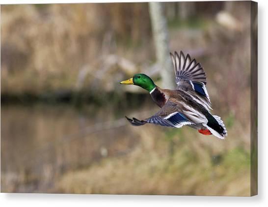 Drake Canvas Print - Mallard Drake Taking Flight by Ken Archer