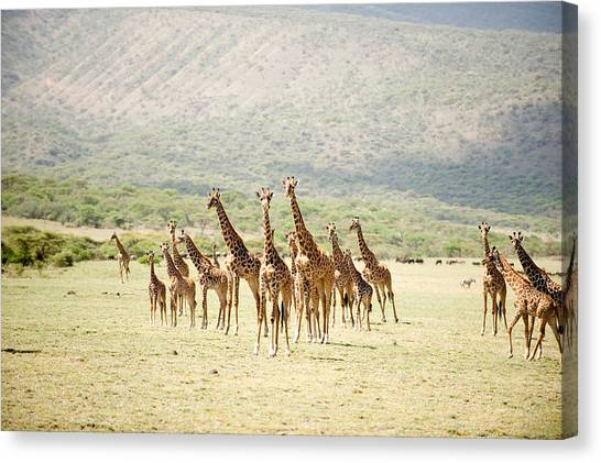 Masai Giraffe Canvas Prints (Page #2 of 14) | Fine Art America