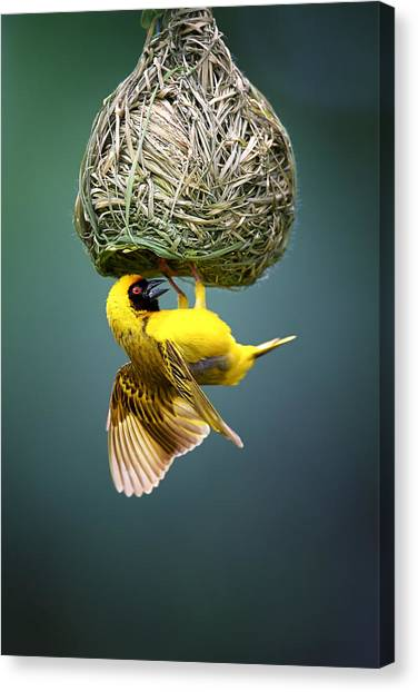 Small Birds Canvas Print - Masked Weaver At Nest by Johan Swanepoel