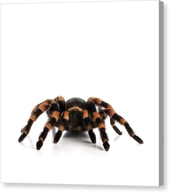 Mexican Redknee Tarantula Canvas Print by Science Photo Library