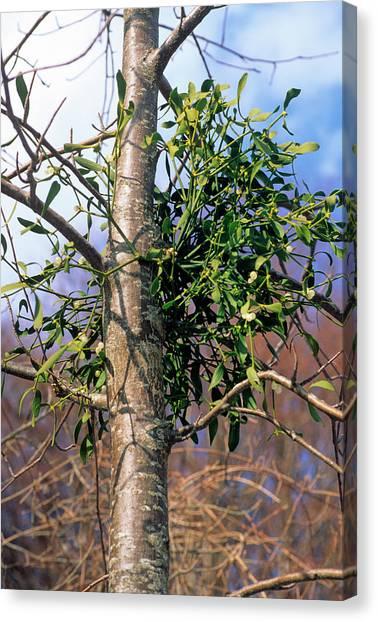 Mistletoe Canvas Print - Mistletoe (viscum Album) by Bruno Petriglia/science Photo Library