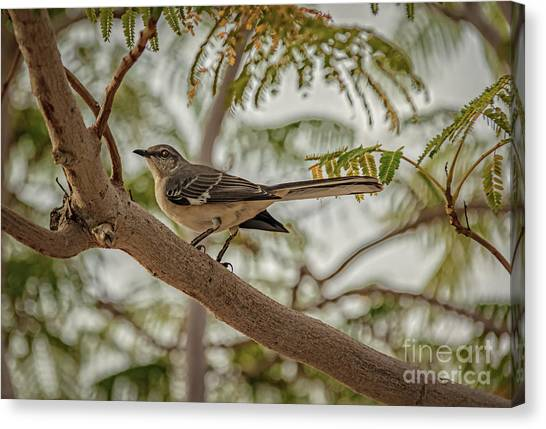 Mockingbird Canvas Print - Mockingbird by Robert Bales