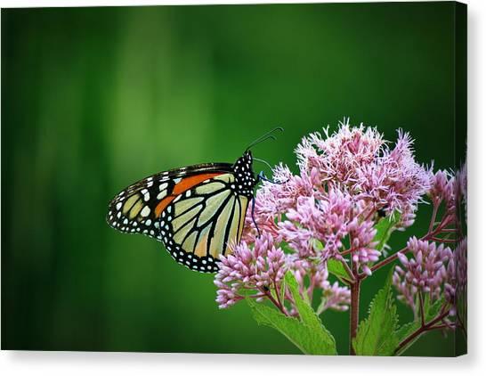 Monarch In Light  Canvas Print
