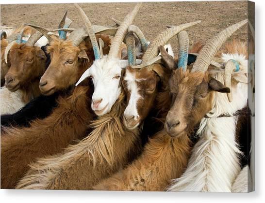 Gobi Desert Canvas Print - Mongolian Herders, Gobi by Ted Wood
