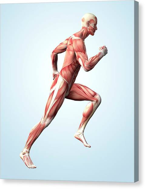 Muscular System Canvas Print by Roger Harris