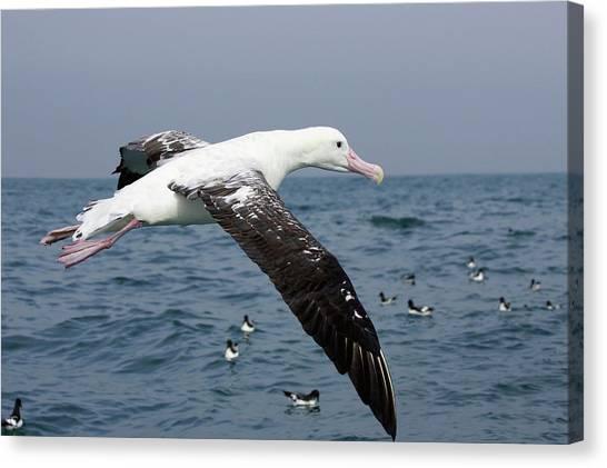 Albatrosses Canvas Print - New Zealand, South Island, Marlborough by David Wall