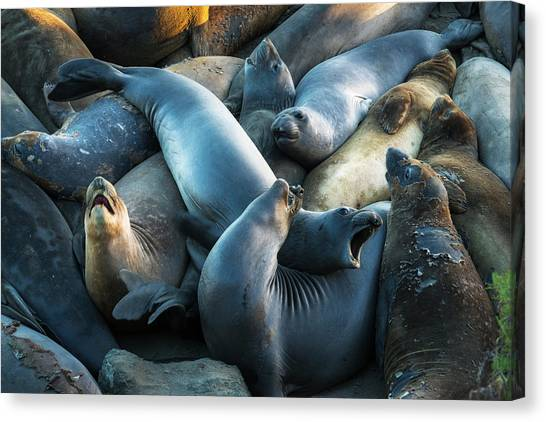 Northern Elephant Seals At Piedras Canvas Print by Russ Bishop