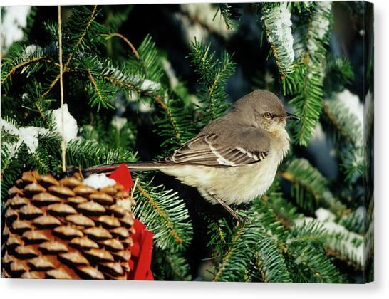 Mockingbirds Canvas Print - Northern Mockingbird (mimus Polyglottos by Richard and Susan Day