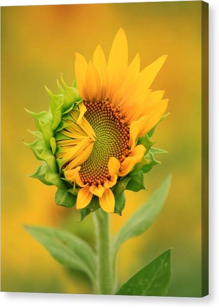 Opening Sunflower Canvas Print