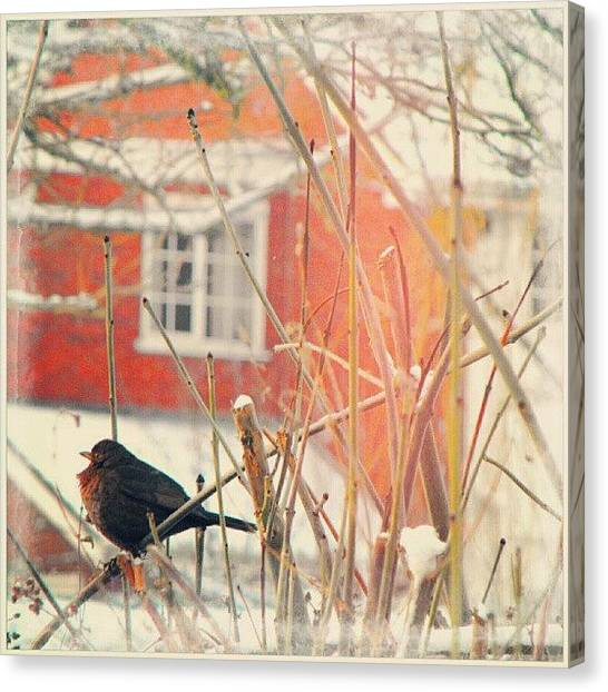 Robins Canvas Print - Otheryearsnow  by Alexandra Cook