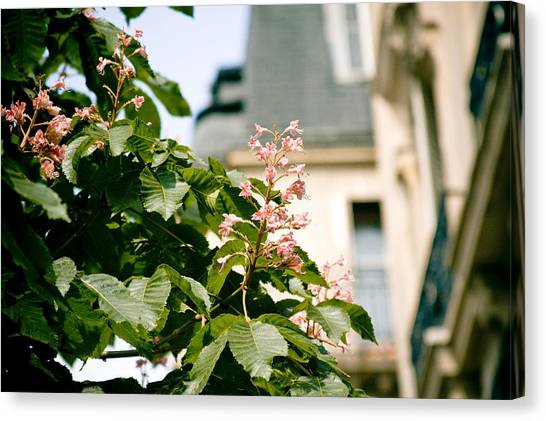 Paris The City Of Blossoming Chestnut Trees  Canvas Print