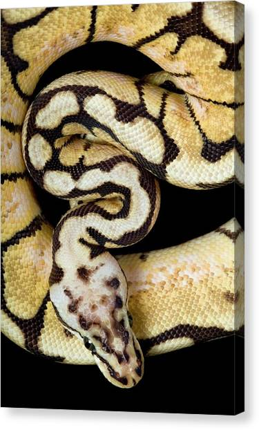 Pythons Canvas Print - Pastel Variant Royal Python by Pascal Goetgheluck/science Photo Library