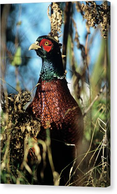 Pheasants Canvas Print - Pheasant by Duncan Shaw/science Photo Library