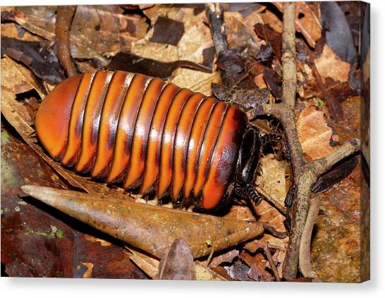 Millipedes Canvas Print - Pill Millipede by Sinclair Stammers/science Photo Library