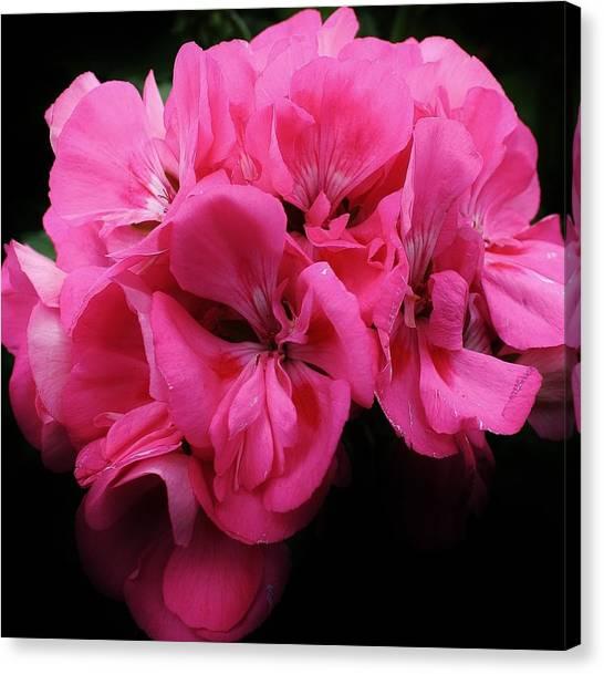 Pink Geranium Canvas Print