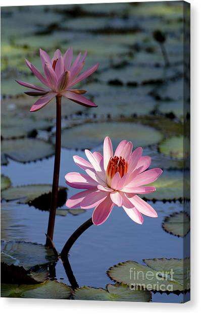 Pink Water Lily In The Spotlight Canvas Print