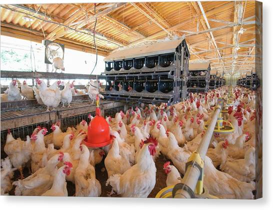 Chicken Farms Canvas Print - Poultry Breeding Farm by Photostock-israel/science Photo Library