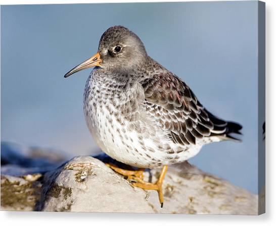 Sandpipers Canvas Print - Purple Sandpiper by John Devries/science Photo Library