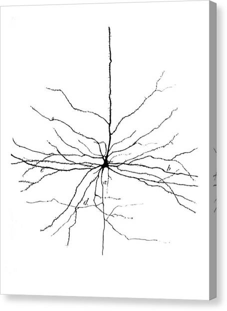 Pyramidal Cell In Cerebral Cortex, Cajal Canvas Print