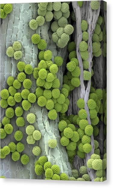 Ragweed Pollen Grains Canvas Print by Martin Oeggerli/science Photo Library