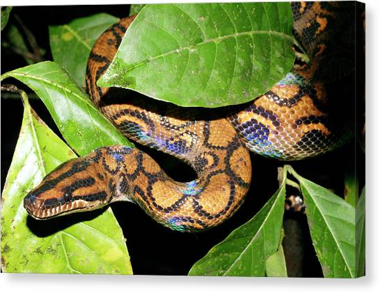 Boa Constrictors Canvas Print - Rainbow Boa by Dr Morley Read/science Photo Library