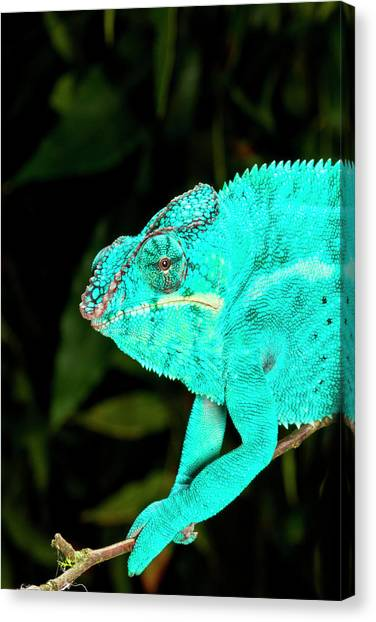Panthers Canvas Print - Rainbow Panther Chameleon, Fucifer by David Northcott