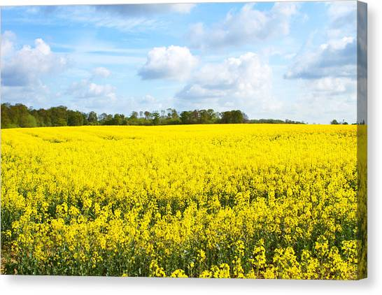 Canvas Print - rapeseed oil field in the English countryside by Fizzy Image