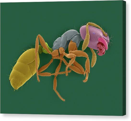 Pest Canvas Print - Red Imported Fire Ant by Dennis Kunkel Microscopy/science Photo Library