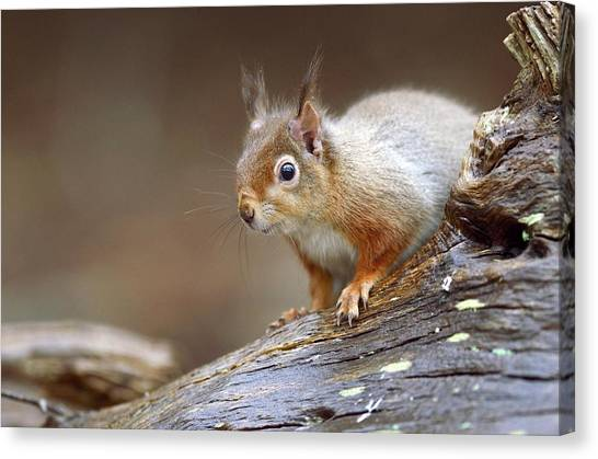 Bushy Tail Canvas Print - Red Squirrel by Colin Varndell