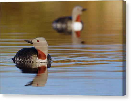 Tundras Canvas Print - Red-throated Loon Pair by Ken Archer