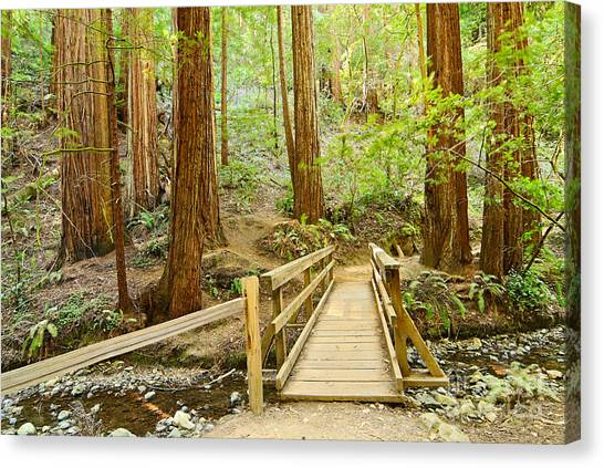 Redwood Forest Canvas Print - Redwood Forest Of Muir Woods National Monument. by Jamie Pham