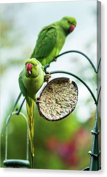 Parakeets Canvas Print - Ring-necked Parakeets On A Bird Feeder by Georgette Douwma/science Photo Library