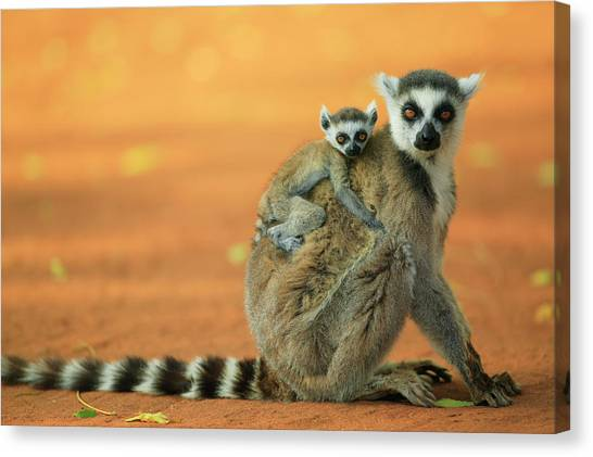 Ring-tailed Lemurs Canvas Print - Ring-tailed Lemur Mother And Baby by Cyril Ruoso